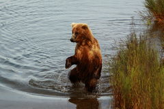 常设熊 免版税库存图片