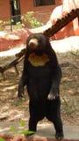 常设熊 免版税图库摄影