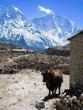 常设牦牛,石谷仓,雪山在喜马拉雅山 免版税库存图片