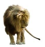 常设狮子 库存图片
