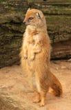 常设苗条猫鼬 免版税图库摄影