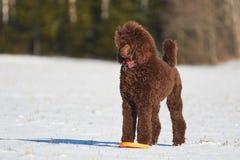 常设长卷毛狗在冬天 免版税库存图片