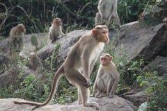 常设猴子 免版税库存图片