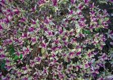 常青与五颜六色的叶子的hebe hybride紫色三叶草 库存照片