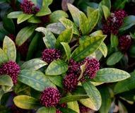 常青开花的多年生植物- Skimmia japonica 免版税库存图片