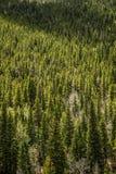 常青杉木&亚斯本树-山森林 库存照片