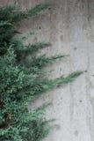 常青杉树对织地不很细墙壁 库存图片
