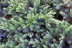 常青杜松背景 灌木的照片与绿色针的 草本种属桧属的装饰的刺,树梢渐近 免版税库存照片