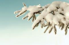 常青树分支与雪的杉树 免版税图库摄影