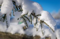 常青树分支与雪的杉树 库存图片