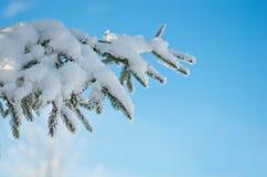 常青树分支与雪的杉树 图库摄影