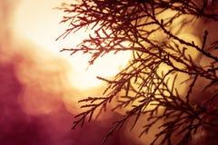 常青树剪影在日出期间的草甸 库存照片