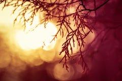 常青树剪影在日出期间的草甸 免版税库存图片