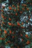 常青树 库存图片