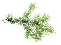 常青树Xmas分支在白色被隔绝 库存图片