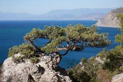 常青结构树增长在岩石的高处 库存图片