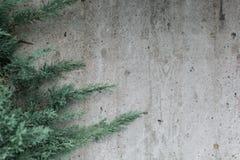 常青针叶树对织地不很细灰色墙壁 免版税库存图片