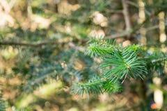 常青雪松分支在森林里 库存照片