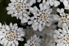 常青candytuft屈曲花属植物sempervirens 免版税库存照片