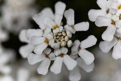 常青candytuft屈曲花属植物sempervirens 库存照片