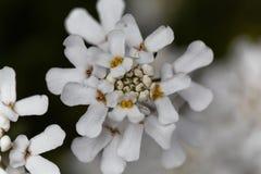 常青candytuft屈曲花属植物sempervirens 图库摄影