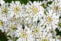 常青Candytuft花,屈曲花属植物软的焦点,在白色瓣 库存图片