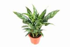 常绿植物 免版税图库摄影