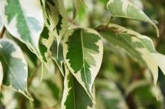 常绿藤本植物aureum叶子 免版税库存照片