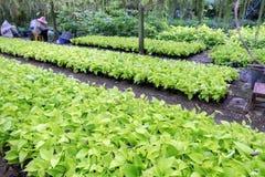常绿藤本植物aureum,恶魔常春藤,金黄pothos,猎人长袍cultivat 库存图片