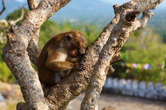 帽子睡觉在树的短尾猿猴子 库存照片