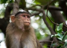 帽子短尾猿的美好的图象坐看起来旁边方式的树 免版税库存图片
