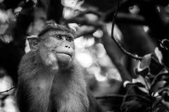帽子短尾猿的黑白图象坐看起来旁边方式的树 库存照片