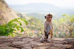 帽子短尾猿猴子坐石头 库存照片