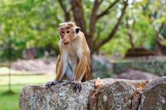 帽子短尾猿猴子坐石头 图库摄影