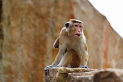 帽子短尾猿猴子坐石头 库存图片