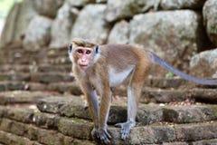 帽子站立在石头的短尾猿猴子 图库摄影