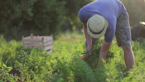 帽子采摘红萝卜的年轻农夫在有机农场的领域 股票录像