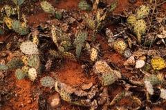 干仙人球在沙漠 免版税库存图片
