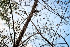 干冬天树枝和叶子有蓝天背景 免版税图库摄影