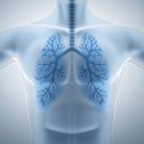 干净和健康肺 库存照片
