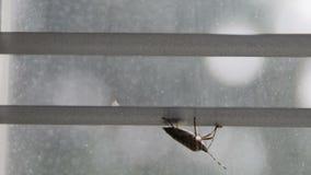 干净颠倒的恶臭的臭虫它在窗帘pentatomoidea种类的` s天线 股票视频
