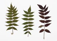 干叶子错误绣线菊类的植物的图片在几个变形的 免版税图库摄影
