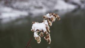 干和结冰的花在冬天 股票视频