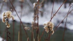 干和结冰的花在冬天 股票录像
