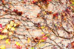 干多彩多姿的狂放的蠕动的藤Ampelopsis葡萄分支 Fal 免版税库存照片
