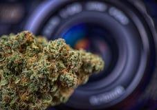 干大麻在数字照相机透镜-大麻p前面发芽 免版税库存照片