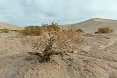 干小豆科灌木树在死亡谷国家公园 库存图片