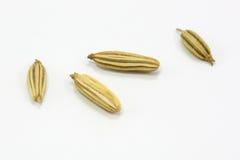 干小茴香籽 免版税库存照片
