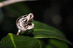 干山茶花花仍然附有绿色山茶花叶子或分支围拢的它的树 免版税库存照片