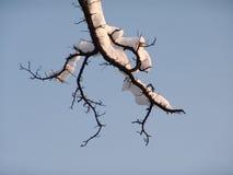 干旱的分行结构树 库存图片